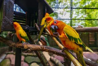 Sun Conure parrots on a branch