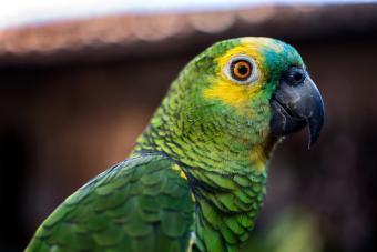 Closeup of Amazon Parrot