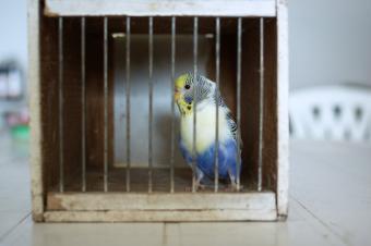 Parakeet bird in a cage