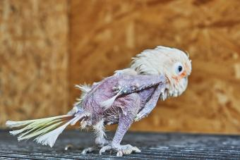 Sick parrot with plucked feathers