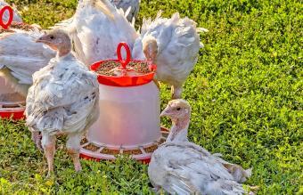 Turkey-poults near the trough