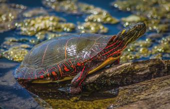 Painted Turtle in the water
