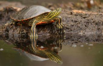 Painted Turtle at waters edge