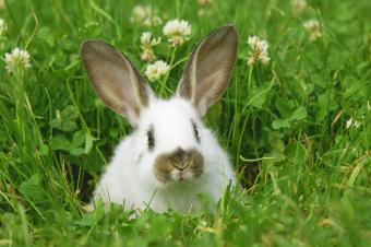 Rabbit (Oryctolagus cuniculus) in grass