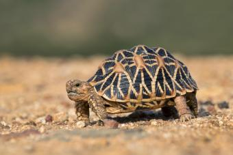 A Star tortoise on an early morning walk