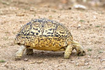 The distinctively marked leopard tortoise forages for food