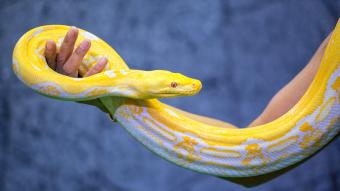 Yellow Reticulated Python