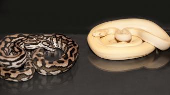 Pair of pythons