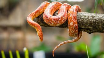 Corn snake on a branch