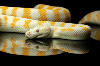 Yellow and white striped Albino Darwin python snake