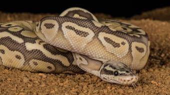 Pastel python