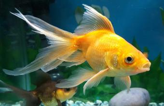 How to Take Care of New Goldfish Properly