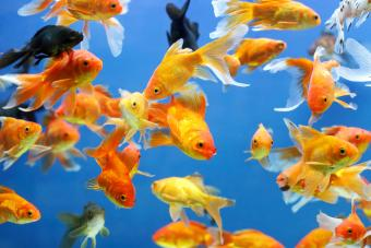 Common Types of Goldfish for Aquariums and Ponds