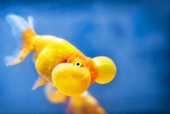 A bubble eye fish goldfish