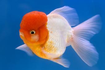 Oranda Lion head goldfish