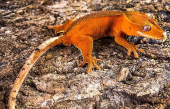 Crowned Red Dalmatian Crested Gecko