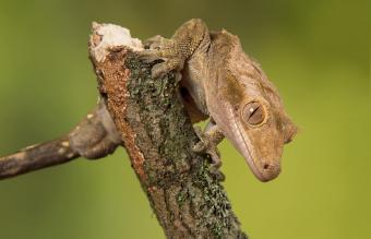 crested gecko on a branch