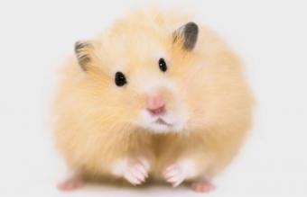 Teddy bear or Angora hamster
