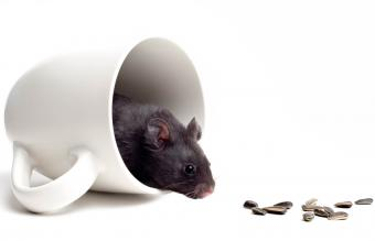 black bear hamster in a coffee cup