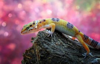 leopard gecko on a rock