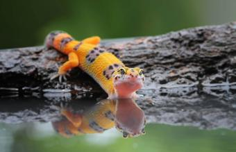 leopard gecko by water