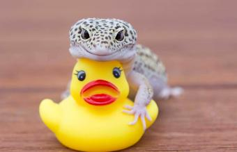Lizard and rubber ducky