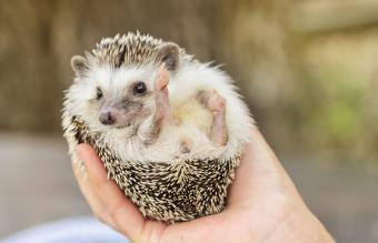 Pet Hedgehog Costs, Facts, and Care