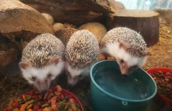 Hedgehog Having Food