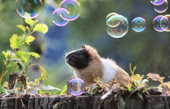 Guinea pig with soap bubbles