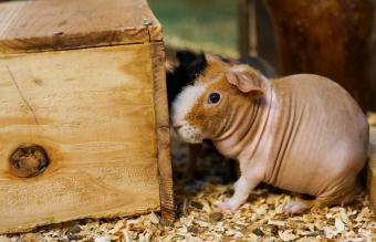 Baldwin guinea pig