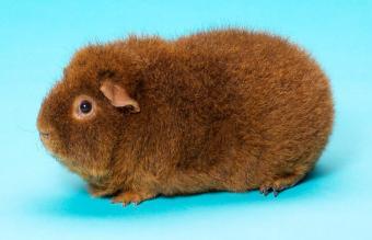 Rex Guinea Pig