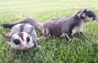 Sugar gliders playing in the garden
