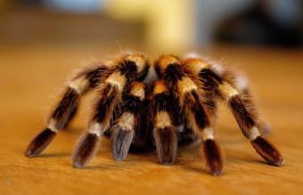 Tarantula On Table