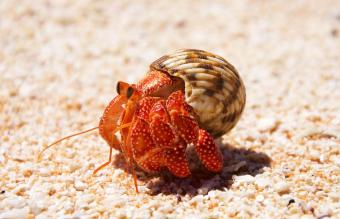 Tikehau Hermit Crab