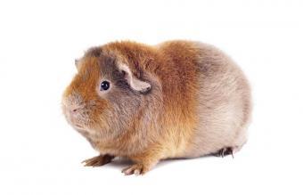 Teddy Satin Guinea Pig