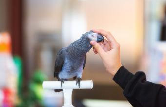 Woman stroking grey parrot