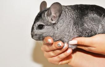 Chinchilla on the hands