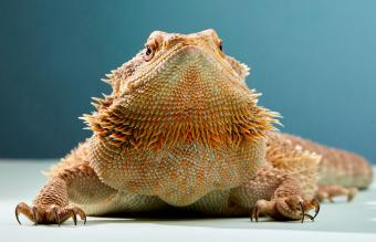 10 Ways to Tell If a Bearded Dragon Is Dying