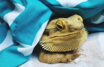 bearded dragon under blanket