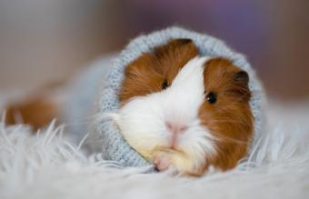 What Are the Common Signs of a Guinea Pig Dying?