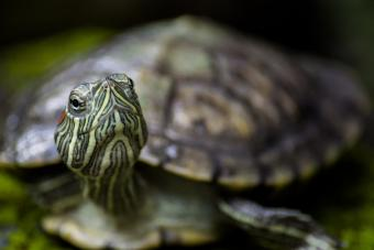 Brazilian turtle looking about