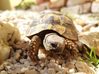 Box turtle walking over gravel
