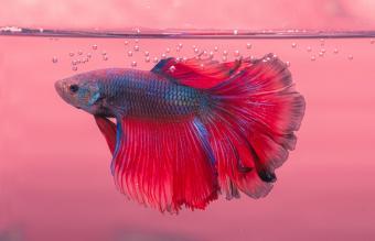 Male rose tail mal betta fish