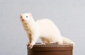 Common Ferret Types and Their Characteristics