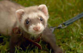 Chocolate pet ferret