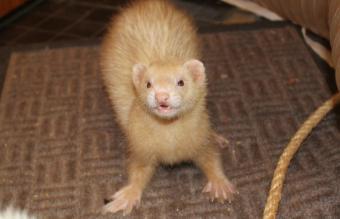 Adult female ferret cinnamon