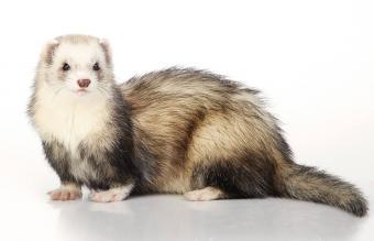 Cute silver ferret