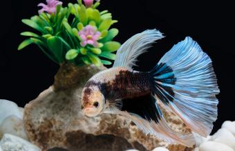 Do Betta Fish Recognize and Interact With Their Owners?