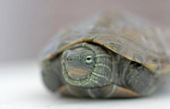 Turtle hidden inside its shell