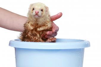 Ferret taking a bath
